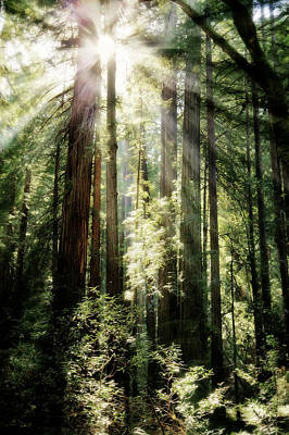 Muir Woods Forest - Red Wood Trees Poster