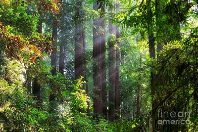 Muir Woods Redwood Trees 4 Poster by Mel Ashar