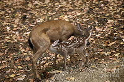 Mule Deer Doe And Fawn Poster by Ron Sanford
