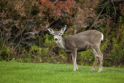 Mule Deer Doe On The Lawn At Mono Poster by Michael Qualls