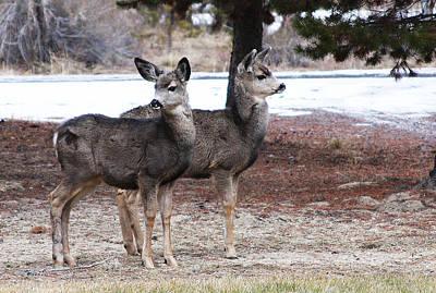 Mule Deer Fawns Poster
