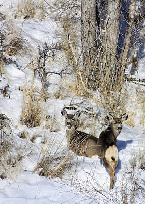 Mule Deer In The Canyon Poster