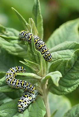 Mullein Moth Caterpillars Poster by David Aubrey