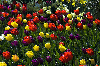 Multicolored Tulips At Tulip Festival. Poster