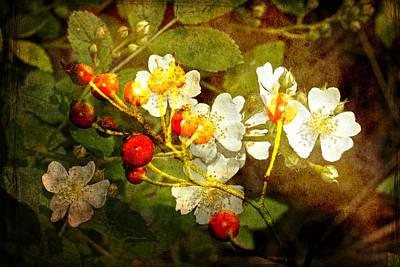 Multiflora Rose And Rose Hips Poster