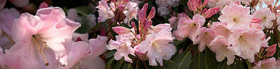 Multiple Images Of Pink Rhododendron Poster by Panoramic Images