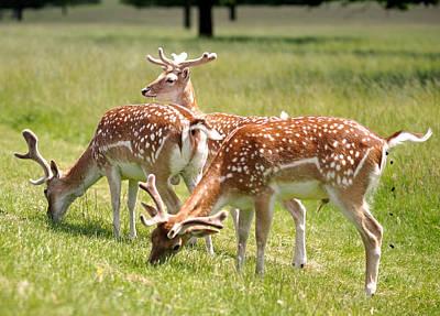 Multitasking Deer In Richmond Park Poster by Rona Black