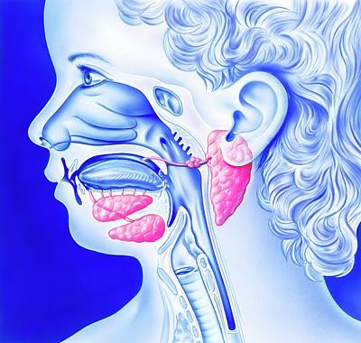 Mumps And Salivary Glands Poster