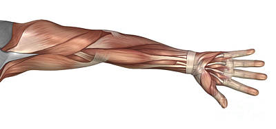 Muscle Anatomy Of The Human Arm Poster by Stocktrek Images