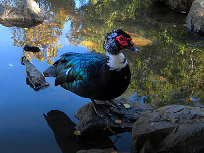 Muscovy Duck Poster by Frank Wilson