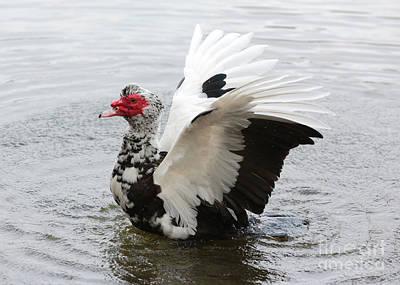 Muscovy Duck Wings Poster by Carol Groenen