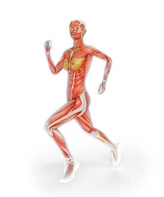 Muscular System Of Runner Poster by Andrzej Wojcicki