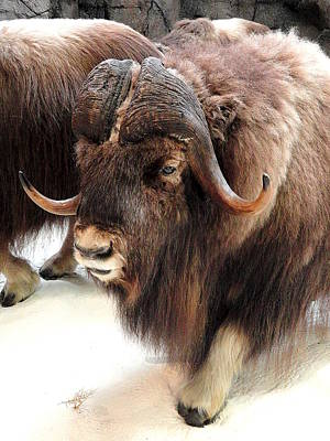 Muskox Poster by Mary Beth Landis