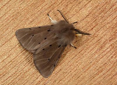 Muslin Moth Poster by Nigel Downer