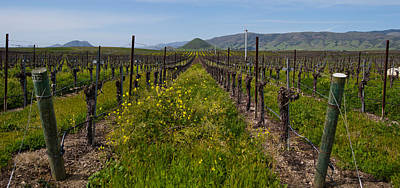 Mustard Plants Growing In A Vineyard Poster by Panoramic Images
