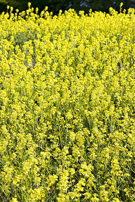 Mustard Plants In Bloom Poster by Donald  Erickson