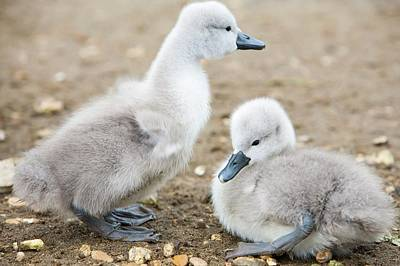 Mute Swan (cygnus Olor) Cygnets Poster by Ashley Cooper