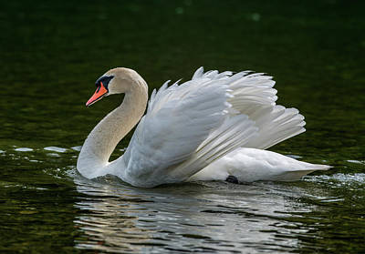 Mute Swan Cygnus Olor Displaying Poster
