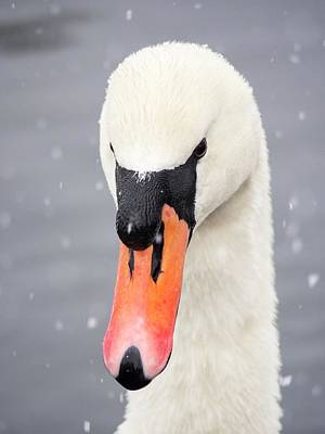 Mute Swan (cygnus Olor) In The Snow Poster