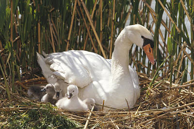 Mute Swan Parent With Chicks In Nest Poster