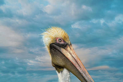 My Better Side - Florida Brown Pelican Poster
