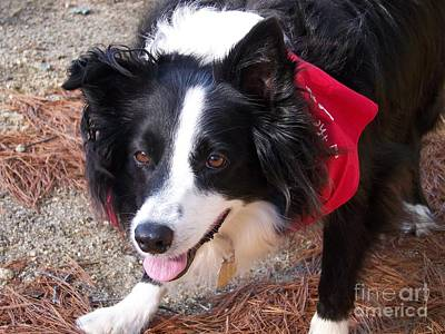 Female Border Collie Poster by Eunice Miller