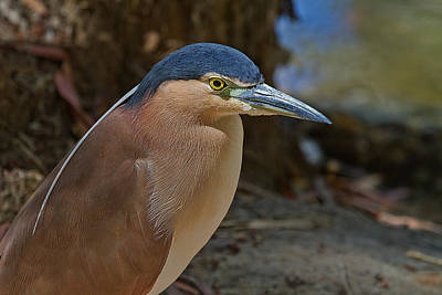 Nankeen Or Rufous Night Heron Poster by Mr Bennett Kent
