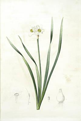 Narcissus Biflorus, Narcisse à Deux Fleurs Primrose Perless Poster by Artokoloro
