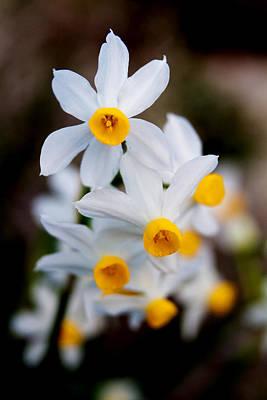 Narcissus Tazetta Poster by Stelios Kleanthous