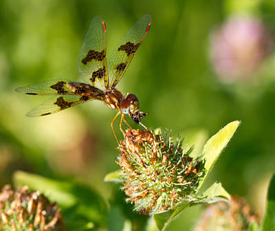 Poster featuring the photograph Nashoba Winery Dragonfly by John Hoey