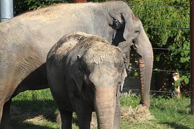 National Zoo - Elephant - 011313 Poster