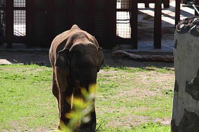 National Zoo - Elephant - 011314 Poster