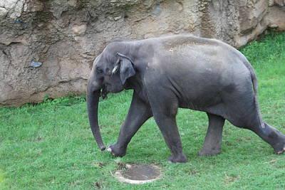 National Zoo - Elephant - 01135 Poster