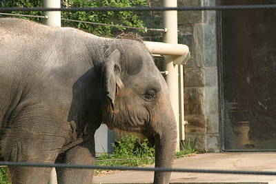 National Zoo - Elephant - 121211 Poster