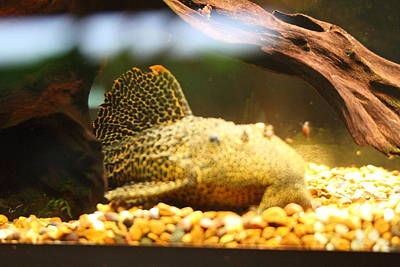 National Zoo - Fish - 011311 Poster by DC Photographer
