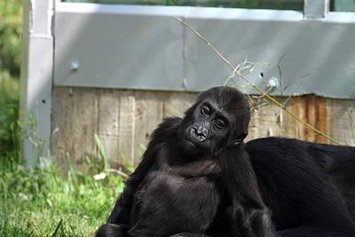National Zoo - Gorilla - 011336 Poster