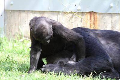 National Zoo - Gorilla - 011342 Poster