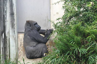 National Zoo - Gorilla - 121243 Poster by DC Photographer