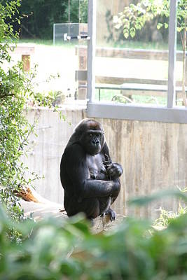 National Zoo - Gorilla - 121264 Poster by DC Photographer