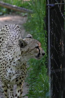 National Zoo - Leopard - 011312 Poster by DC Photographer