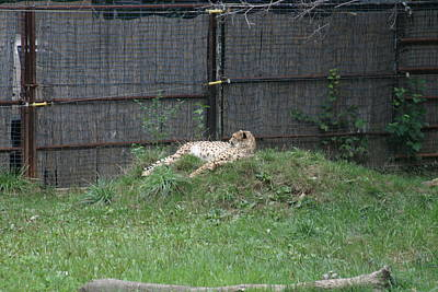 National Zoo - Leopard - 12123 Poster by DC Photographer