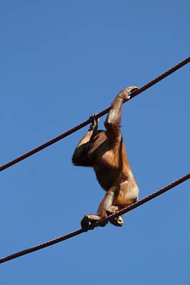 National Zoo - Orangutan - 011319 Poster