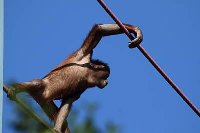 National Zoo - Orangutan - 011320 Poster