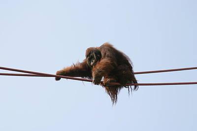 National Zoo - Orangutan - 121216 Poster by DC Photographer
