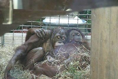 National Zoo - Orangutan - 121221 Poster by DC Photographer