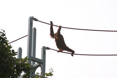 National Zoo - Orangutan - 12125 Poster