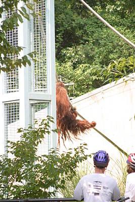 National Zoo - Orangutan - 12128 Poster by DC Photographer