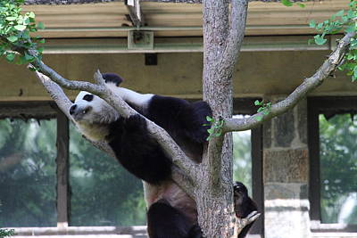 National Zoo - Panda - 011338 Poster by DC Photographer