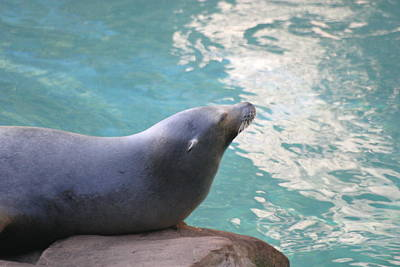 National Zoo - Sea Lion - 12121 Poster by DC Photographer
