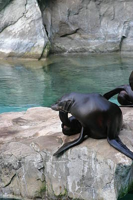 National Zoo - Sea Lion - 12125 Poster by DC Photographer